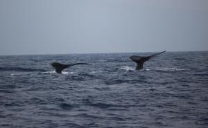 Whale 2 tails